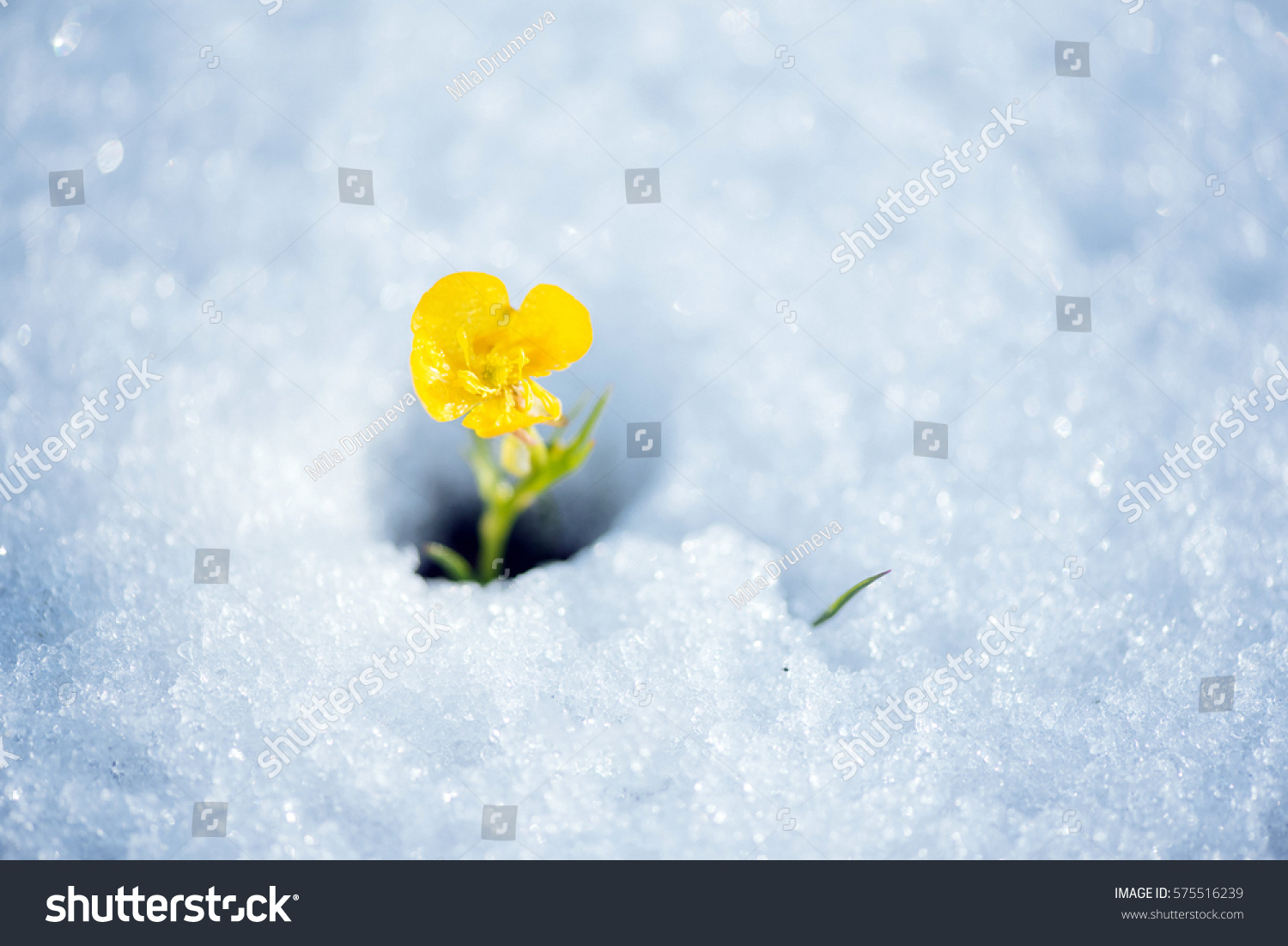 Beautiful Yellow Mountain Flower Breaking Snow Stock Photo Edit Now