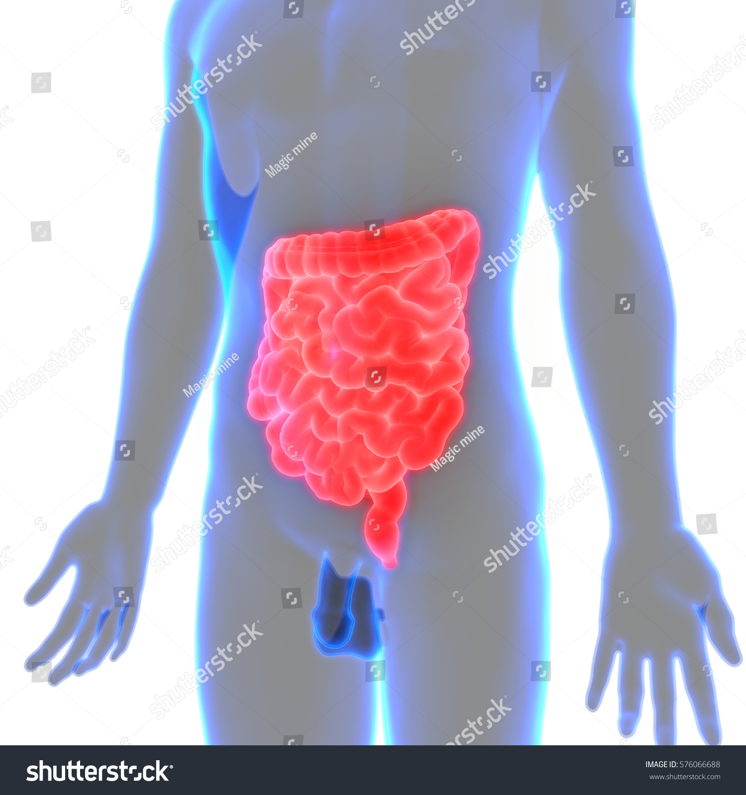 Human Body Organs Large Small Intestine Stock Illustration 576066688 ...