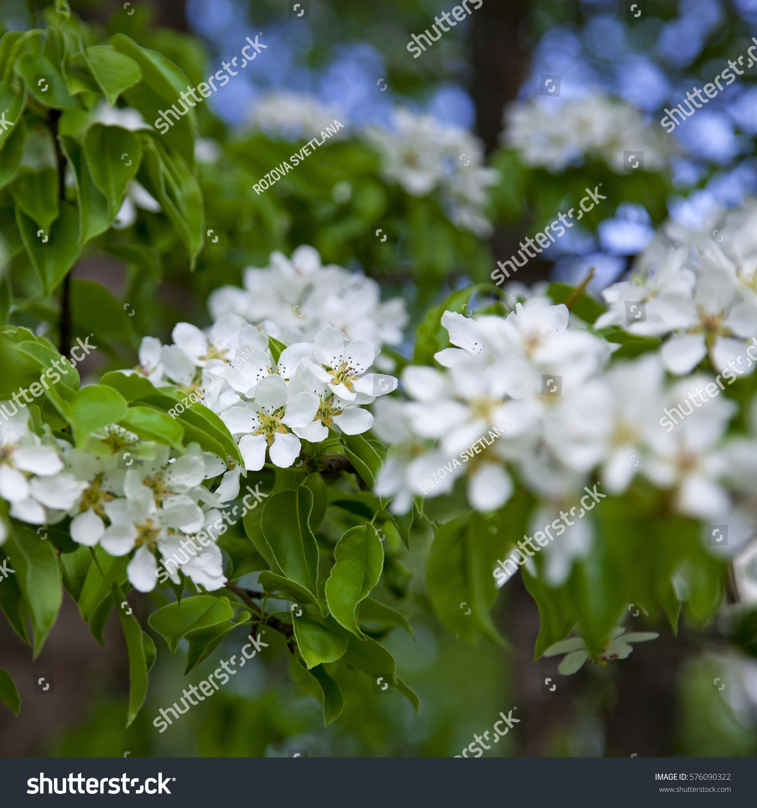 Apple Tree Blooms White Flowers On A Background Of Green Leaves And