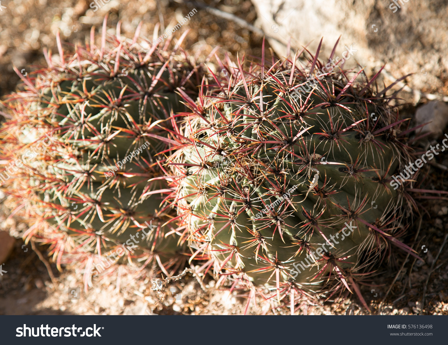 Cacti Botanical Garden Phoenix Arizona Stock Photo (Edit Now ...
