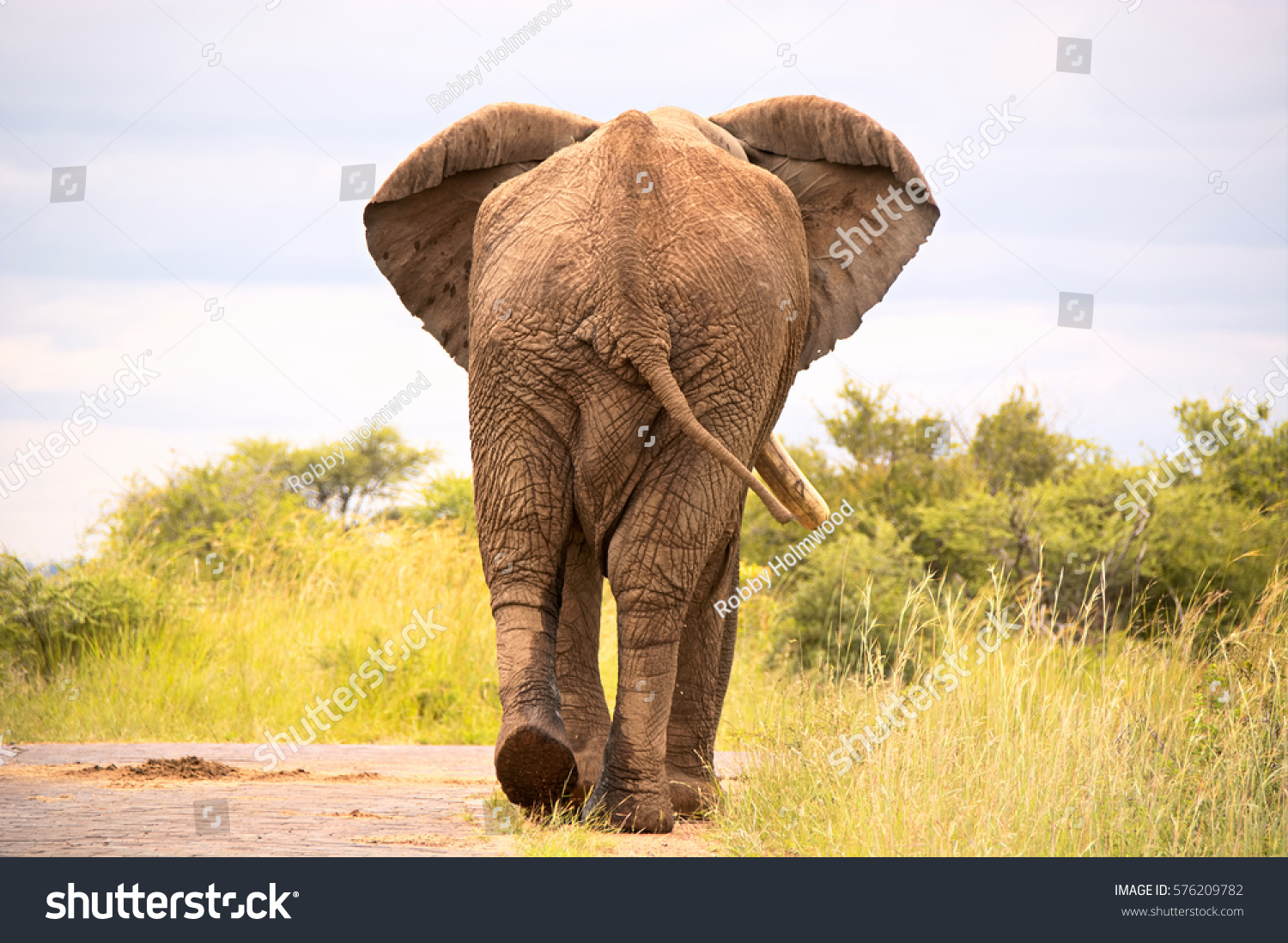 African bull elephant strolling nonchalantly down stock photo african bull elephant strolling nonchalantly down the road ignoring the queue of cars behind biocorpaavc Images