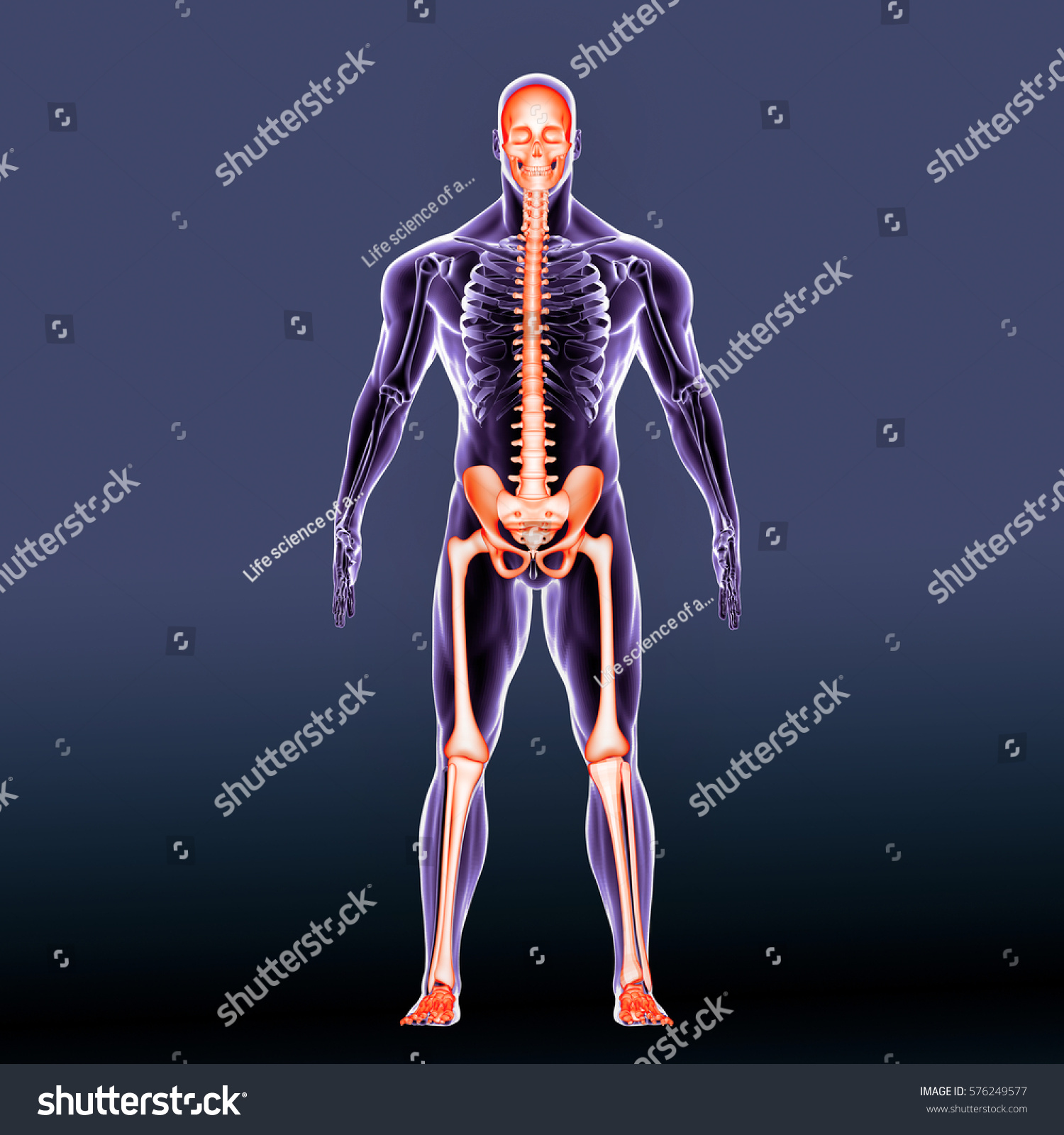 3 D Render Human Body Skeleton Anatomy Stock Illustration 576249577 ...