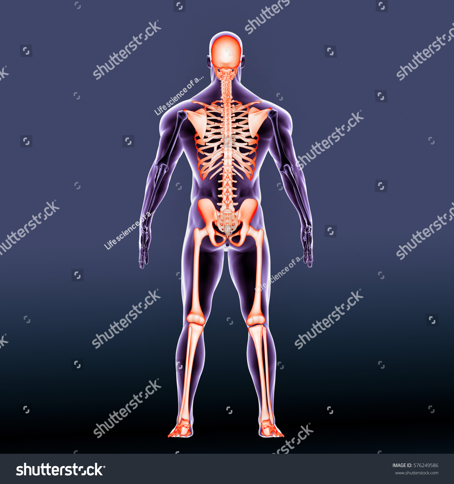 3 D Render Human Body Skeleton Anatomy Stock Illustration 576249586 ...