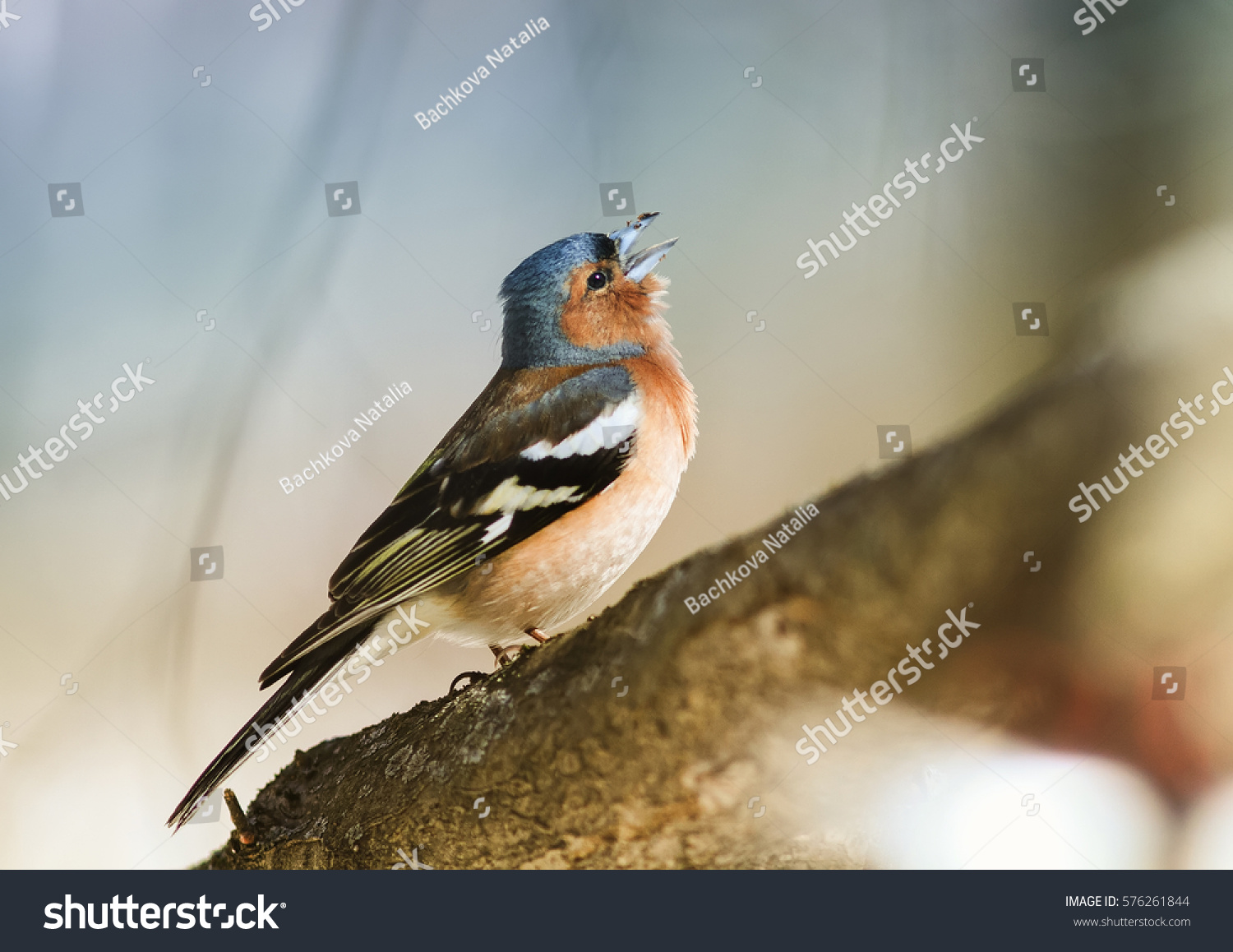 Bird Chaffinch Sings A Sonorous Song Tree Spring In The Woods Design