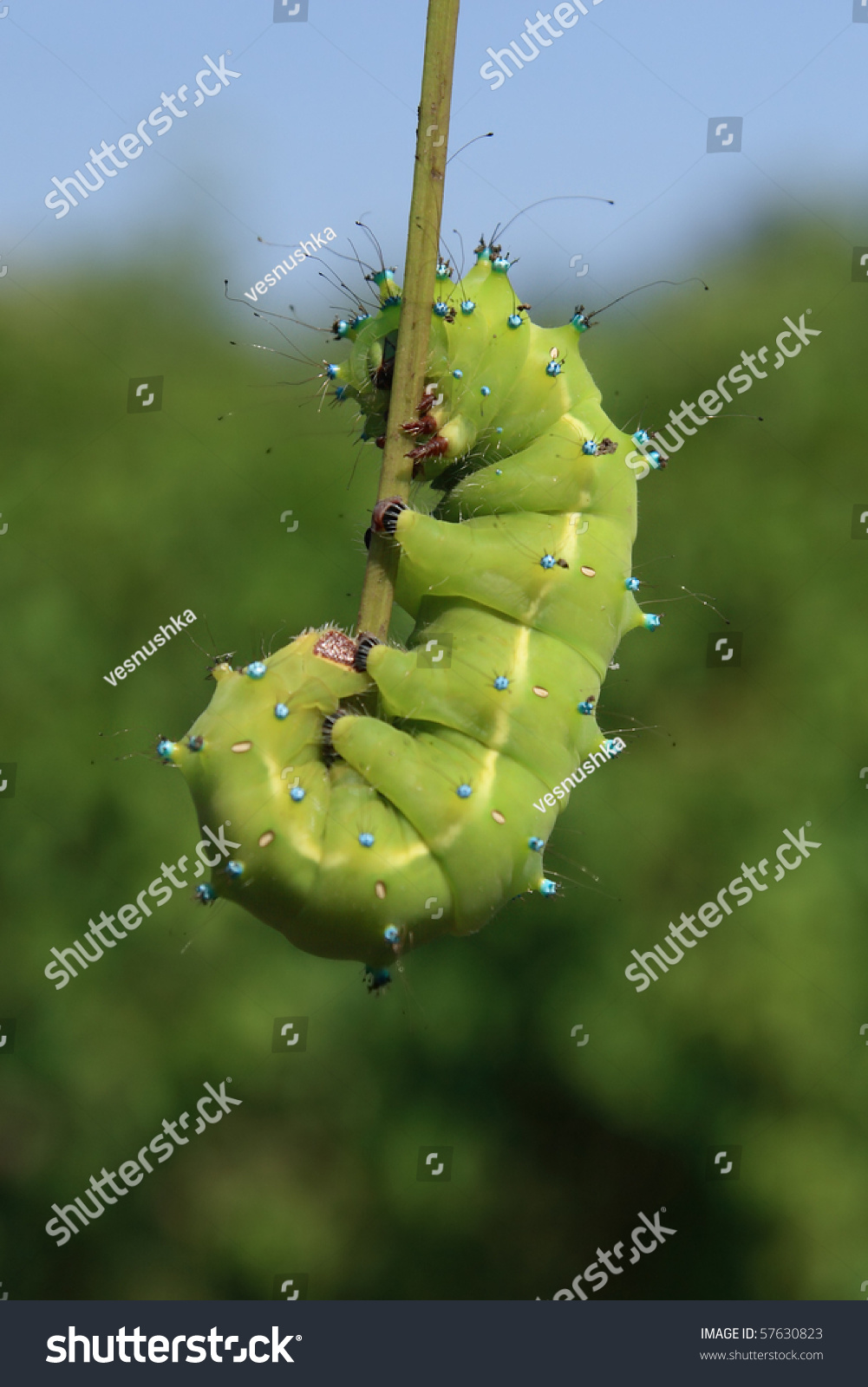 great peacock moth caterpillar saturnia pyri stock photo 57630823
