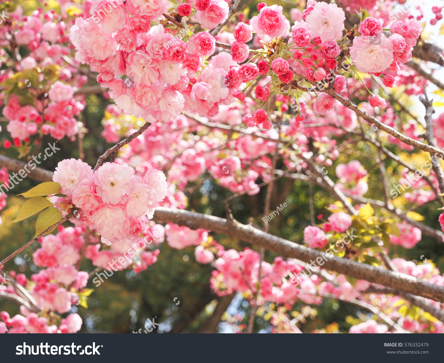 Peach Blossom Japanese Pink Flowers Nature Stock Photo Edit Now