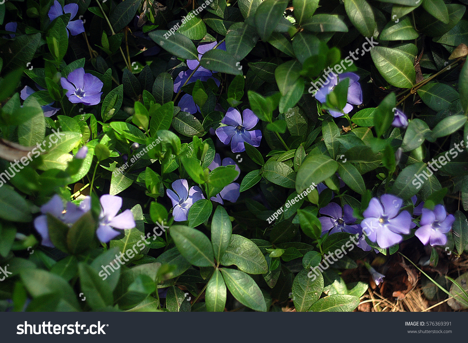 Vinca minor fivepetalled periwinkle plant green stock photo royalty periwinkle plant with green leaves and blue flowers izmirmasajfo