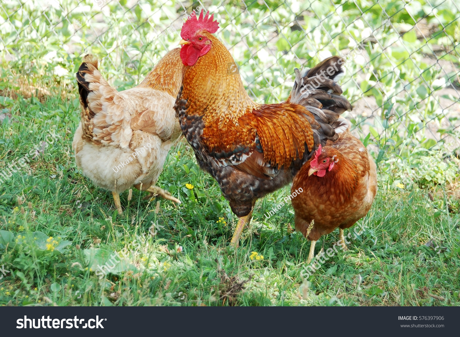 beautiful rooster hen on green village stock photo 576397906