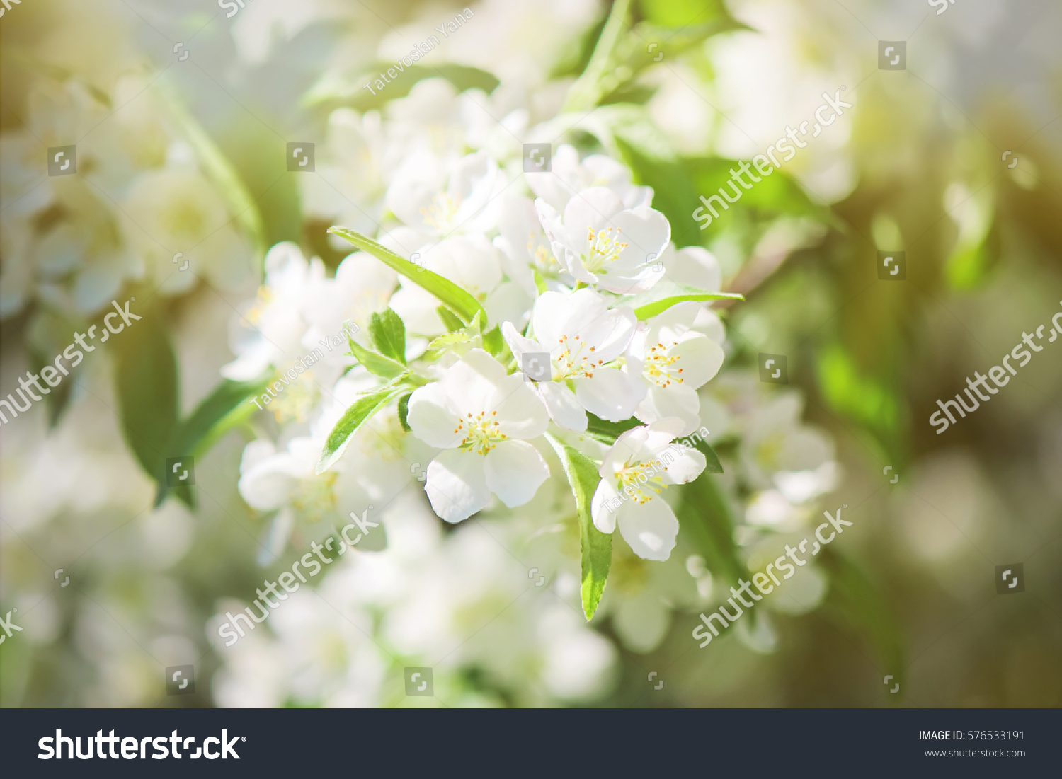 Flowering Trees White Flowers In The Spring Selective Focus Ez