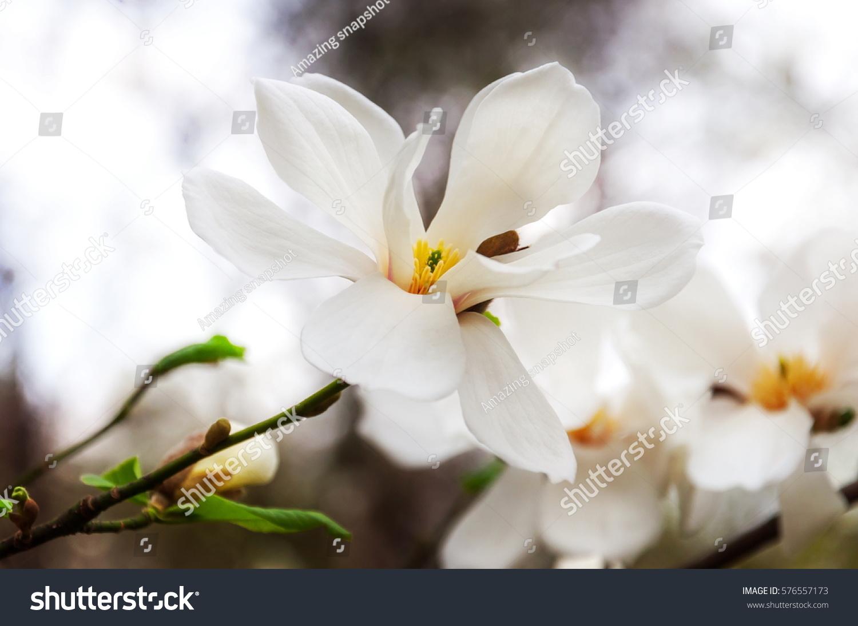 Beautiful White Magnolia Flowers Ez Canvas