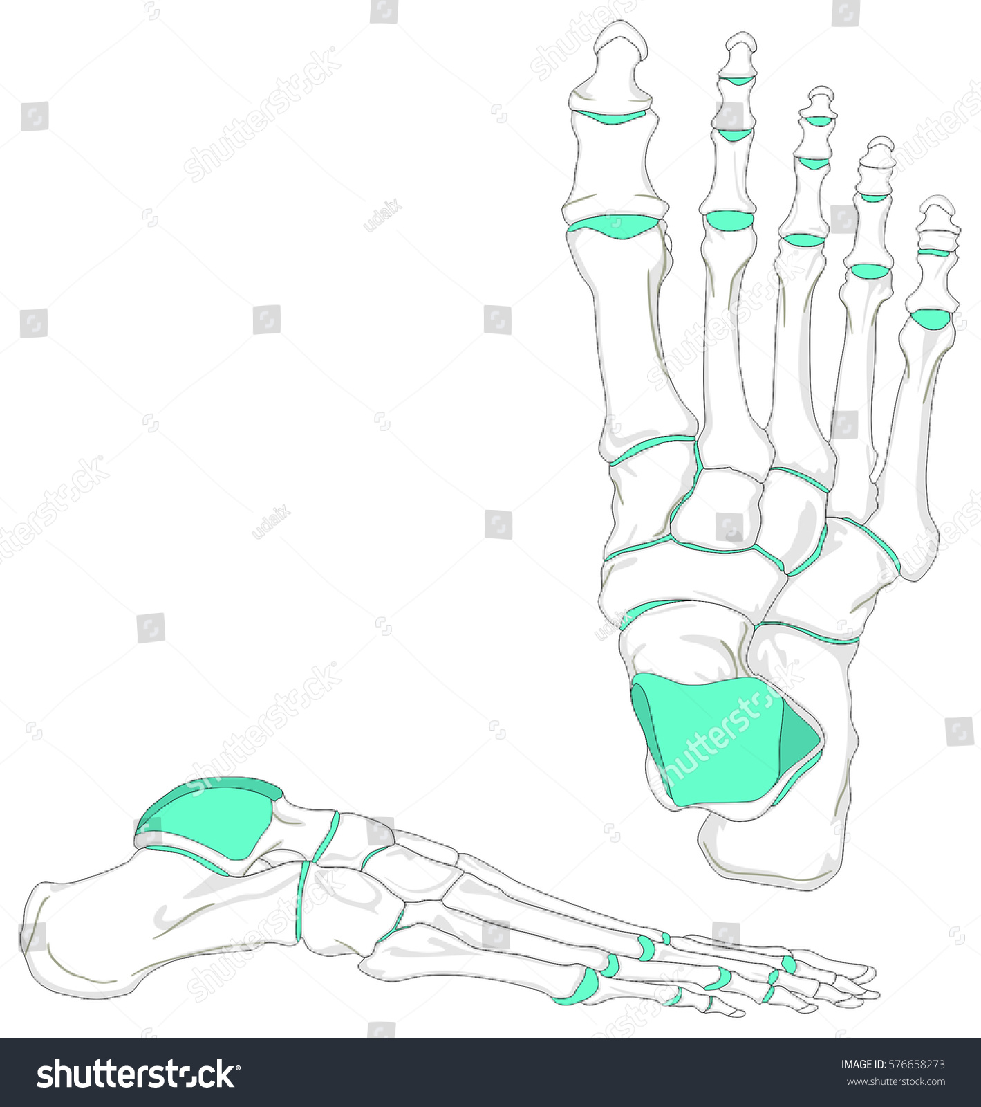 Human Foot Bones Anatomy Diagram Anatomical Stock Illustration ...
