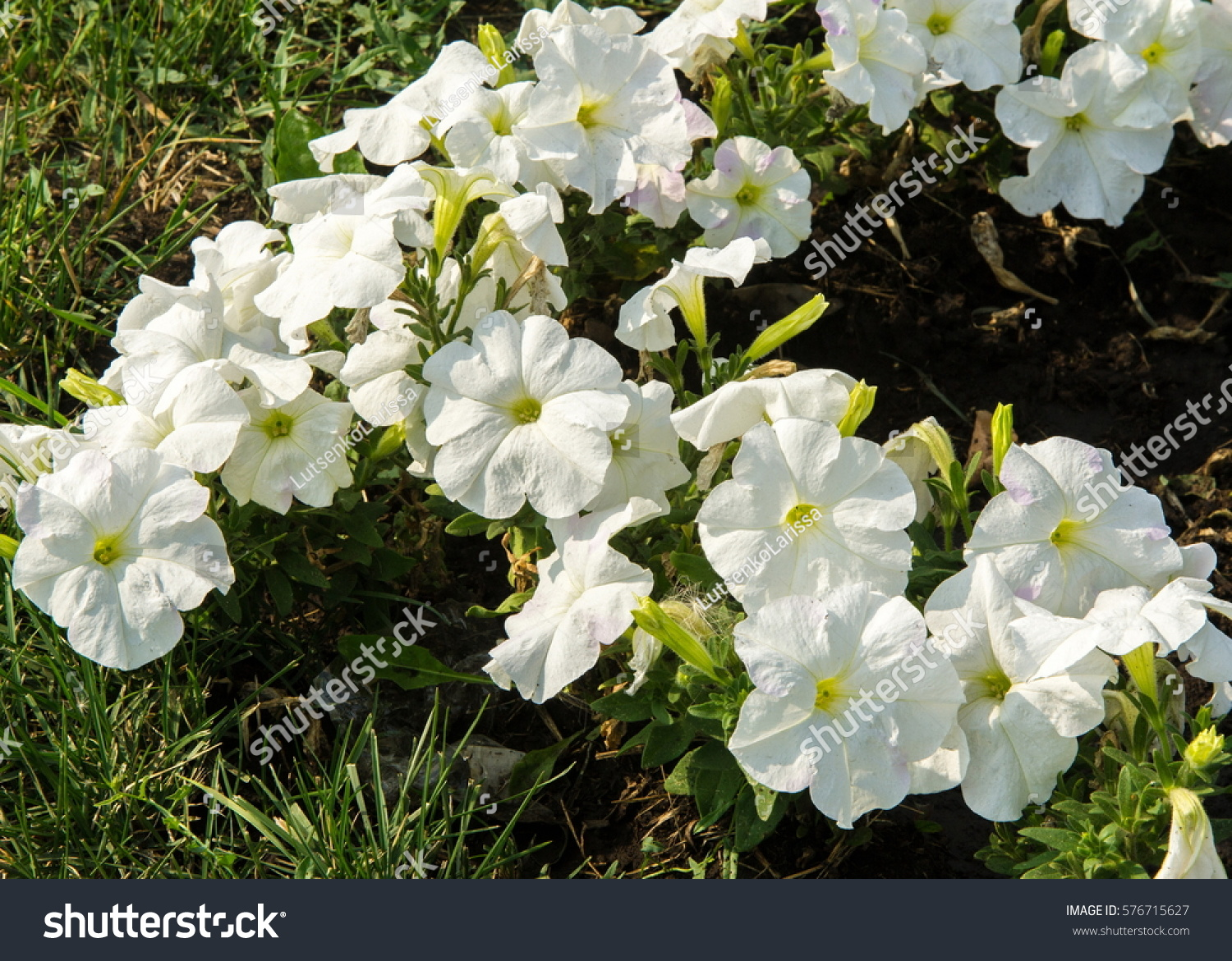petunia flowers. a plant of the nightshade family with brightly ...