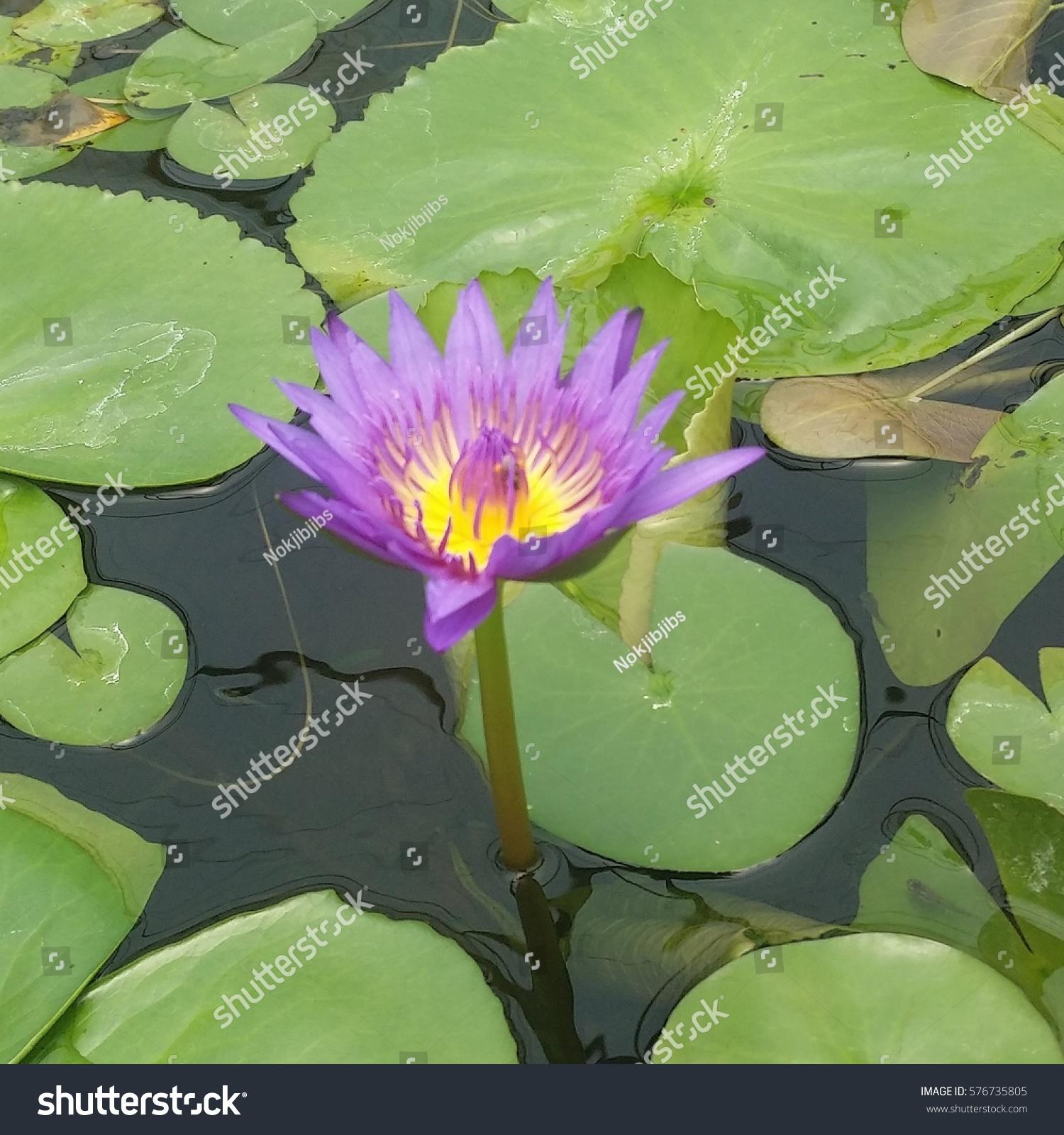 Lotus flower pond stock photo royalty free 576735805 shutterstock izmirmasajfo