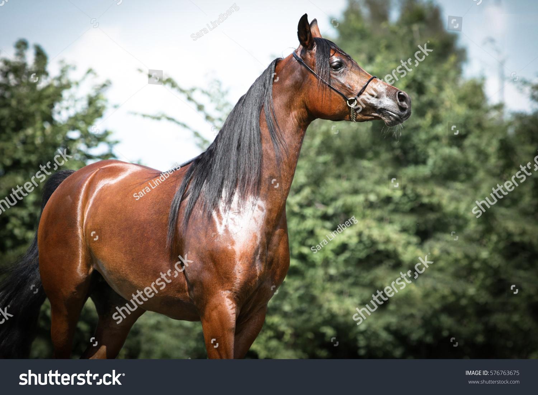 Portrait Brown Shiny Arabian Horse Bridle Stock Photo Edit Now 576763675