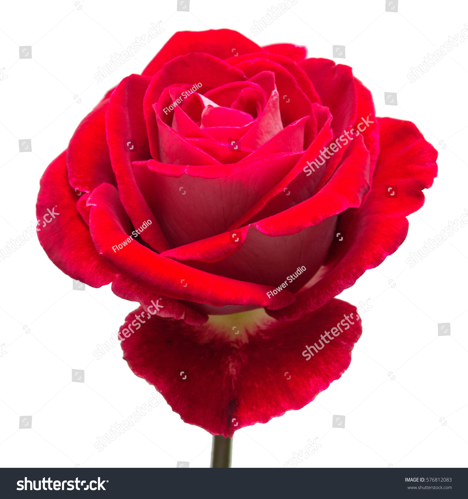 Beautiful flower red rose isolated on stock photo royalty free beautiful flower red rose isolated on white background wedding card greeting summer izmirmasajfo