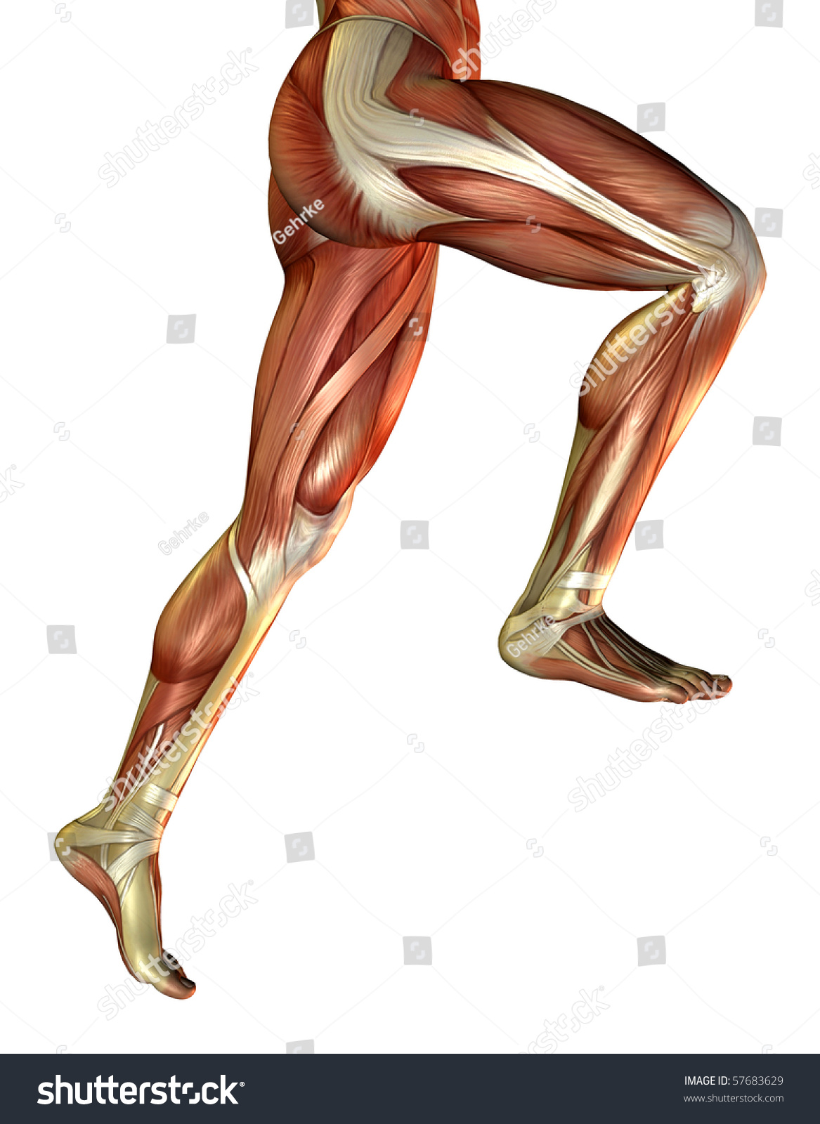 3 D Rendering Male Leg Muscles Stock Illustration Royalty Free