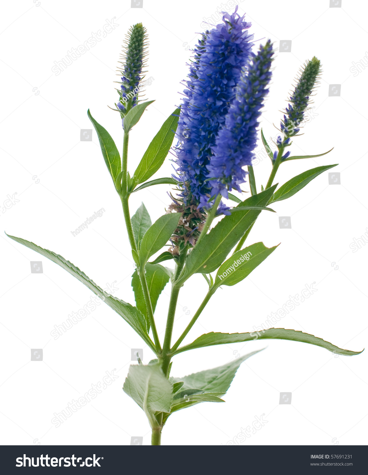 Veronica flowering spikes isolated on white background ez canvas id 57691231 mightylinksfo