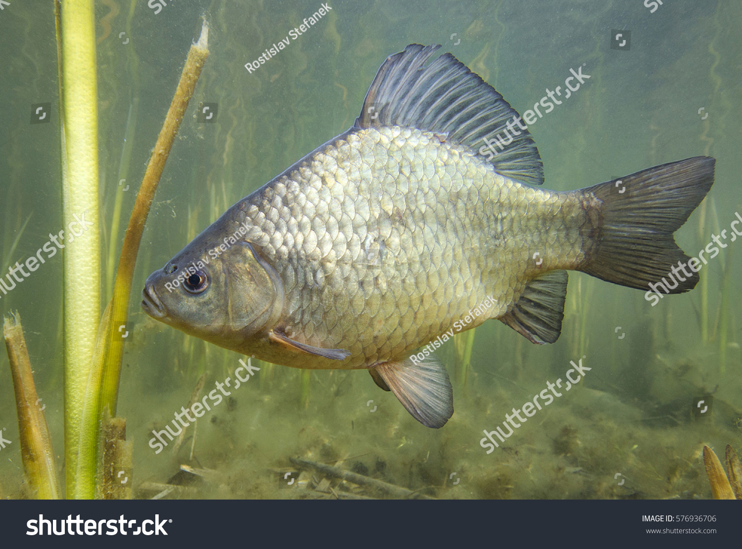 Freshwater fish crucian carp carassius carassius stock for Freshwater cleaner fish