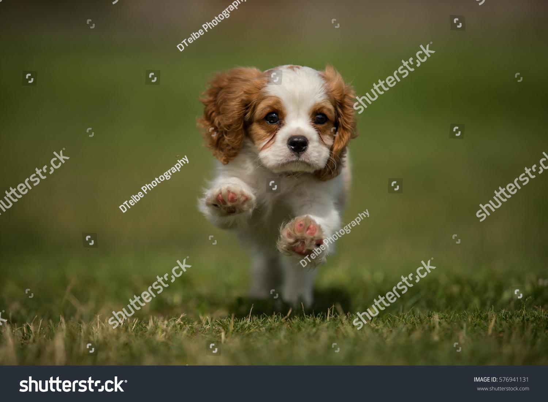 Running Cavalier King Charles Spaniel Puppy Stock Photo Edit Now 576941131