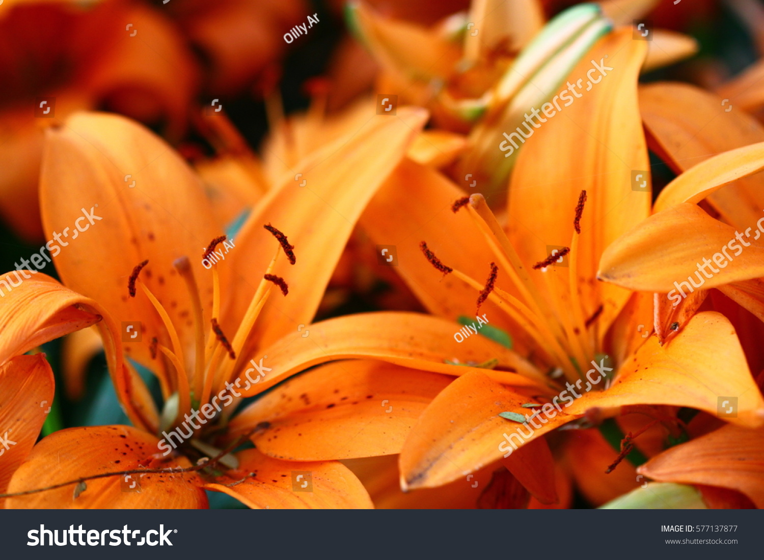 Beautiful Zephyranthes Lily Flower Common Names Stock Photo Edit