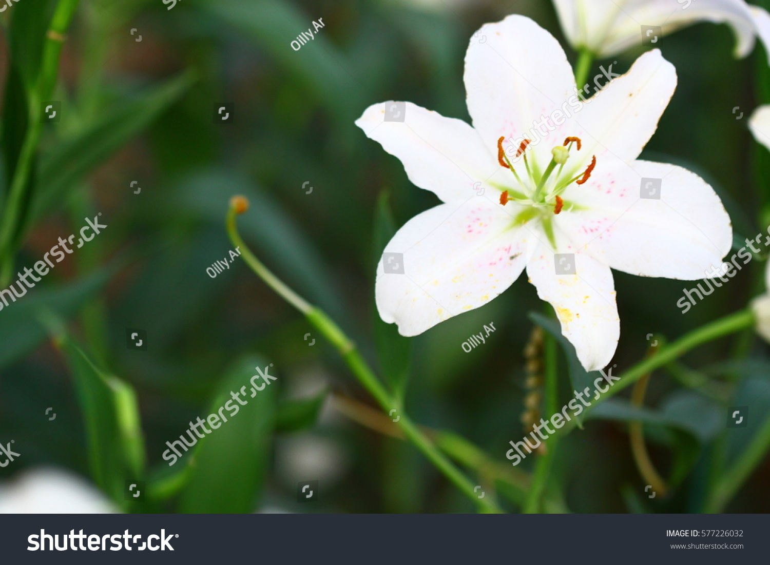 Beautiful Zephyranthes Lily Flower Common Names Stock Photo (Edit ...