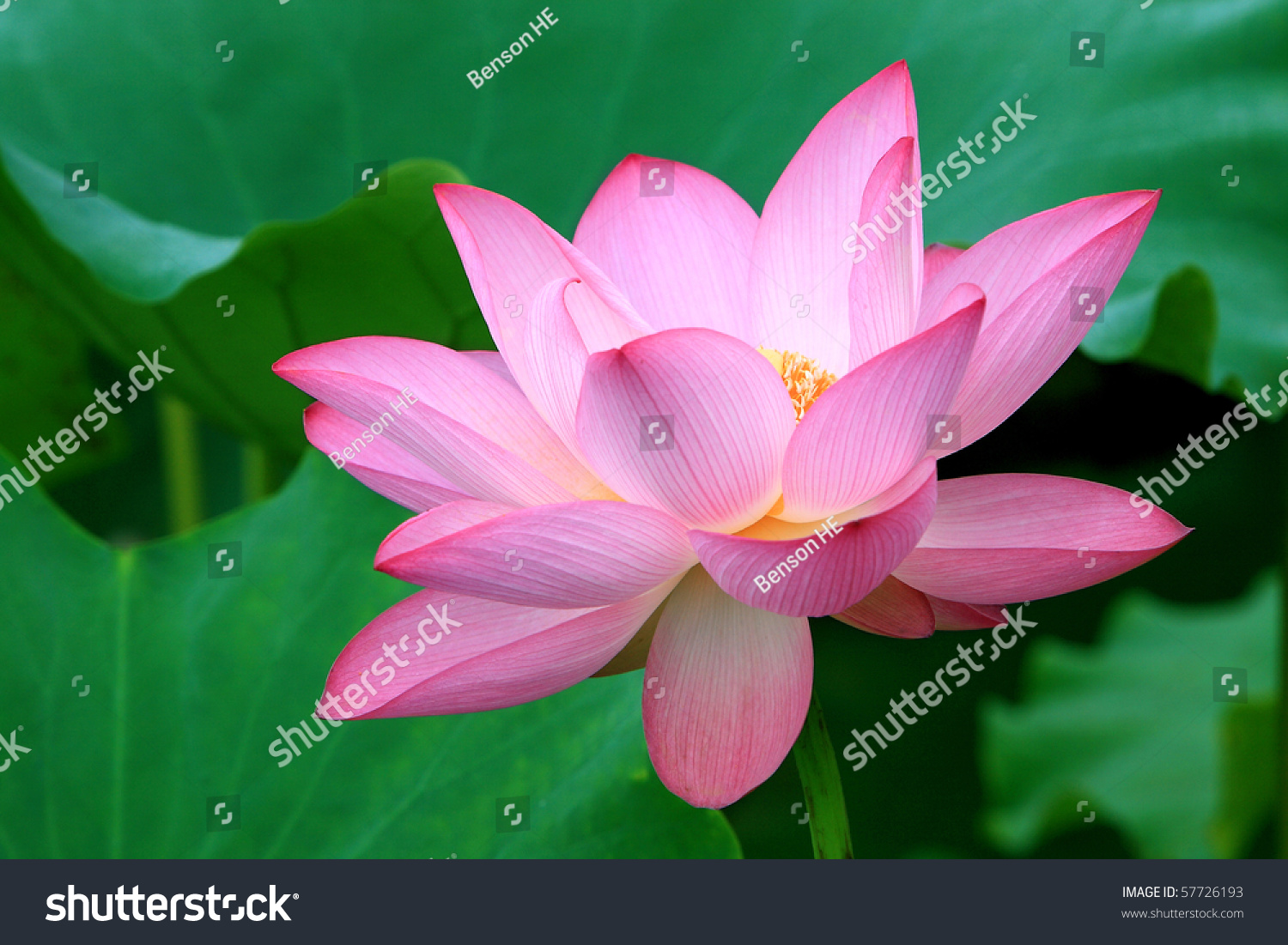 A Red Lotus Flower In Blossom Ez Canvas