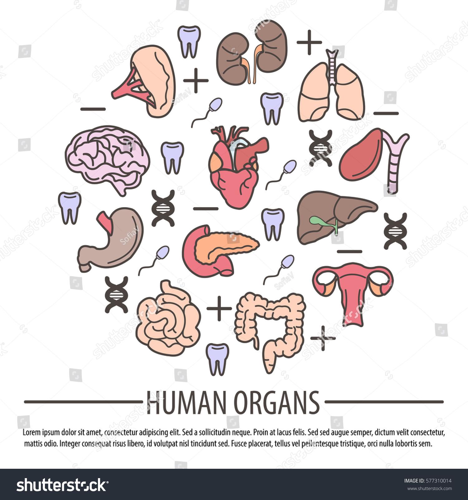 Human Organs Dna Parts Rh Factors Stock Vector Royalty Free