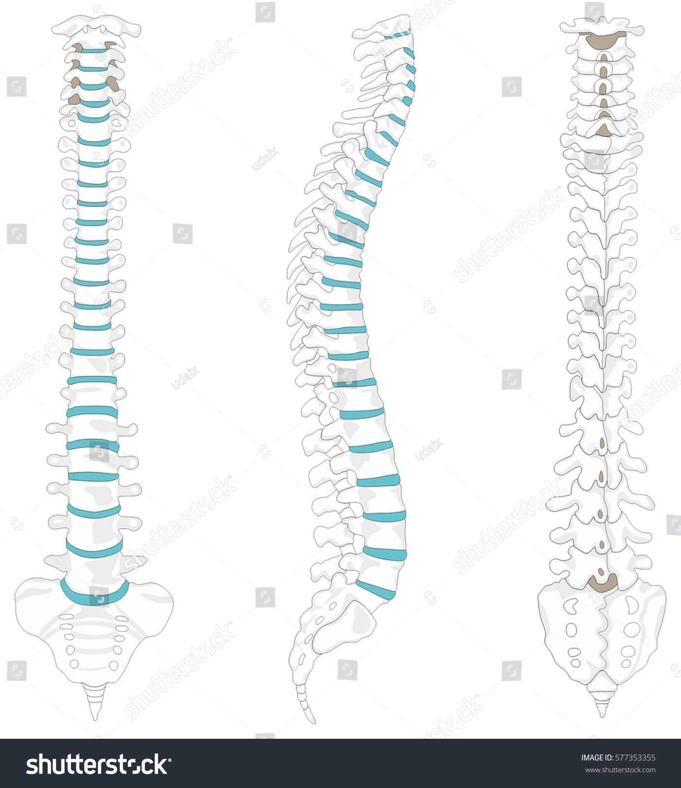 Vertebral Column Spine Structure Human Body Stock Vektorgrafik