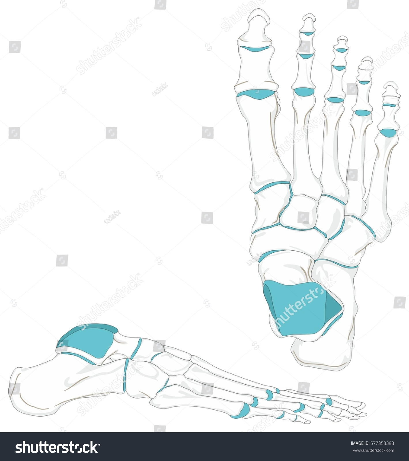 Front Of Human Foot Diagram Auto Electrical Wiring Diagram