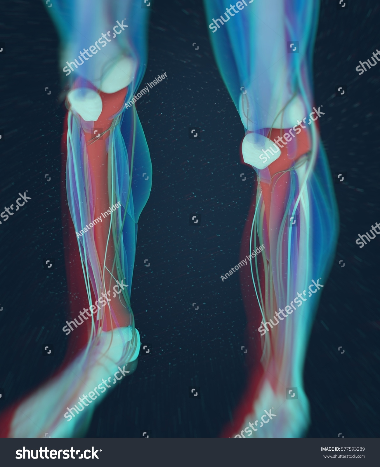 Human Anatomy Male Tibia Shin Bone Stock Illustration 577593289 ...