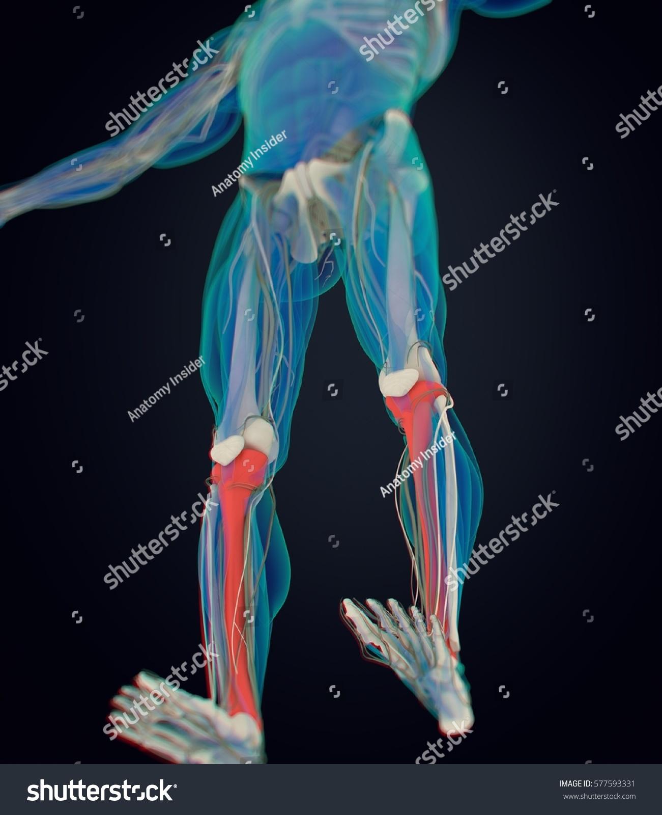 Human Anatomy Male Tibia Shin Bone Stock Illustration 577593331 ...