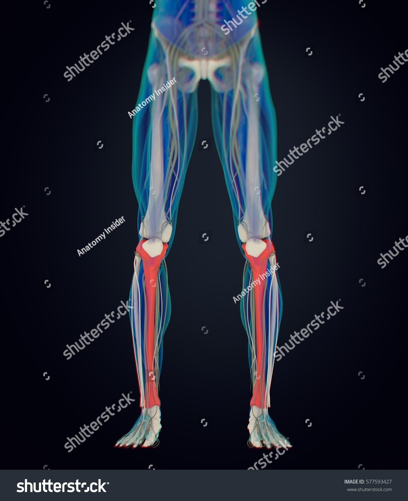 Human Anatomy Male Tibia Shin Bone Stock Illustration 577593427 ...