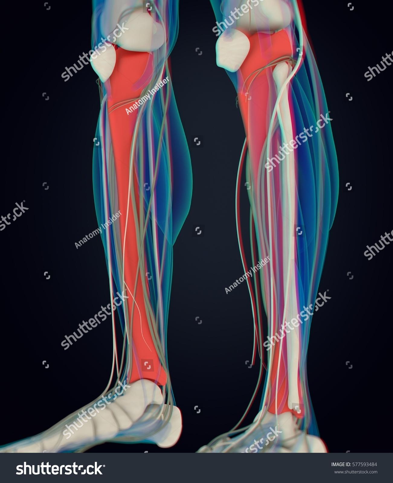 Royalty Free Stock Illustration Of Human Anatomy Male Tibia Shin