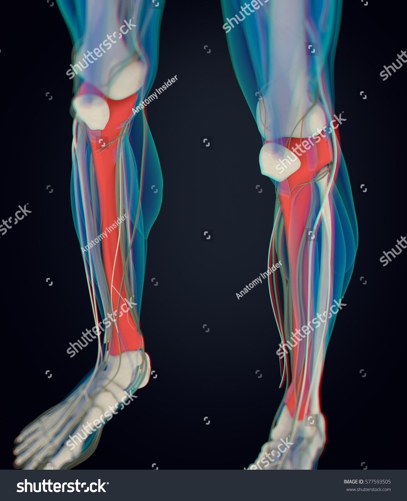 Human Anatomy Male Tibia Shin Bone Stock Illustration 577593505 ...