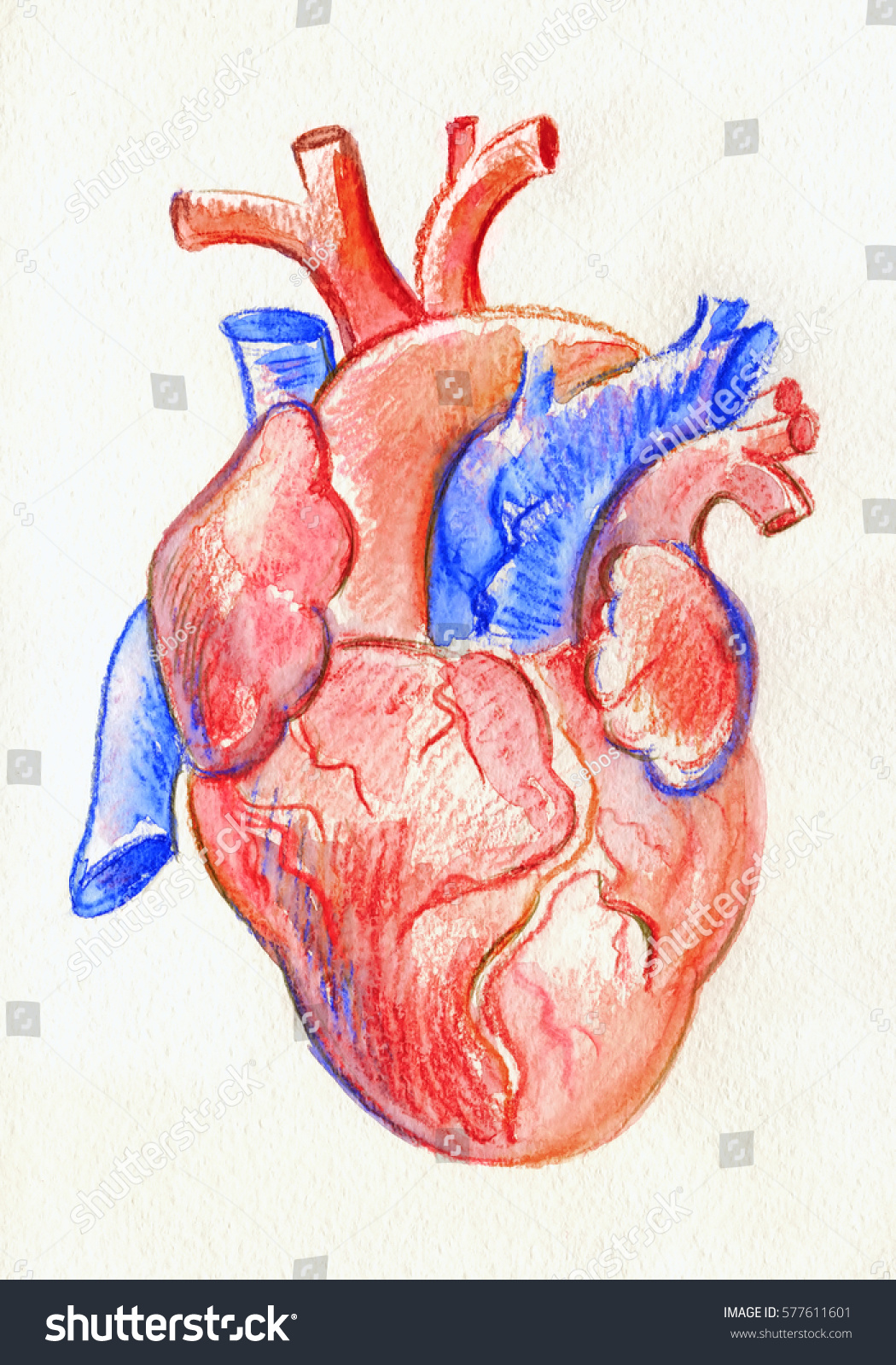 Hand Drawing Sketch Anatomical Heart Colored Stock Illustration ...