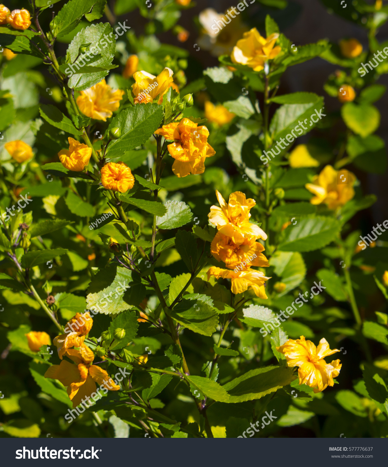 Dainty Little Yellow Flowered Miniature Hibiscus Stock Photo Edit