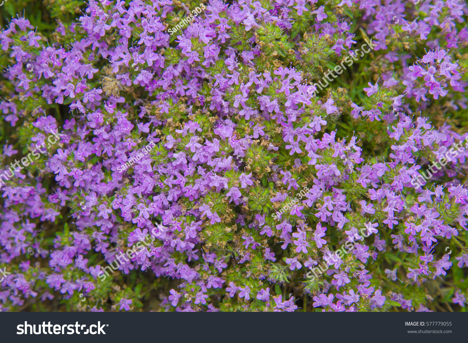 Beautiful floral background flowering thyme another name for this id 577779055 izmirmasajfo