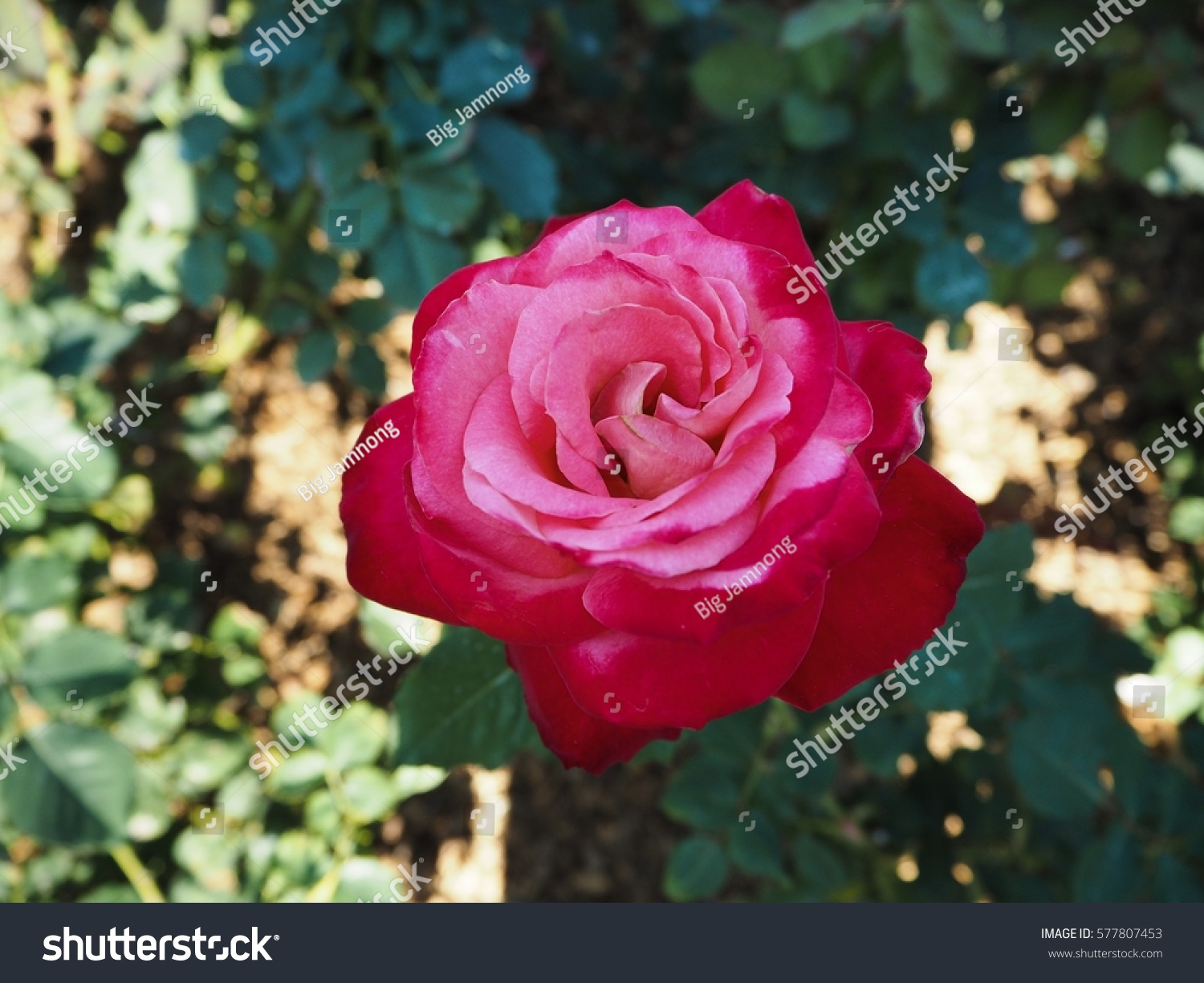 Amazing Red Pink Mixed Roses Flowers Stock Photo Edit Now