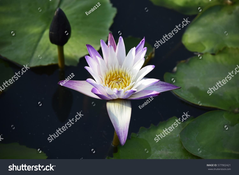 Beautiful Purple Lotus Flower In The Pond Ez Canvas