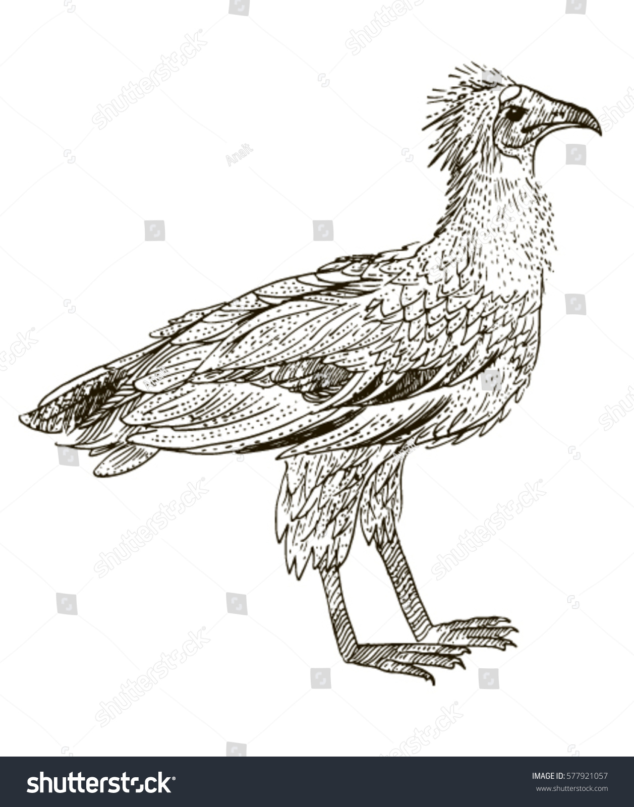 egyptian vulture drawing - photo #22