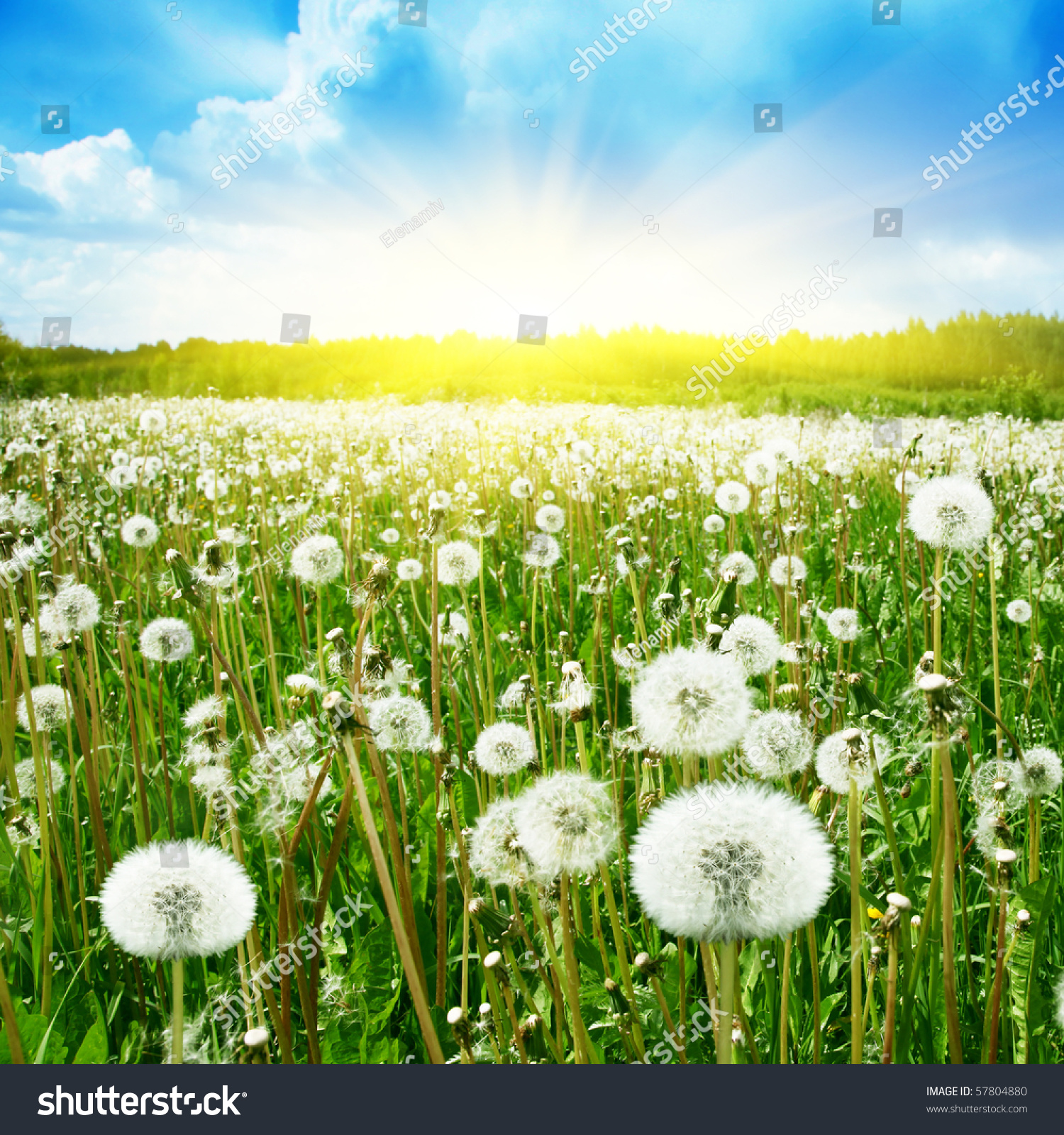 Field Of Dandelions,Blue Sky And Sun. Stock Photo 57804880