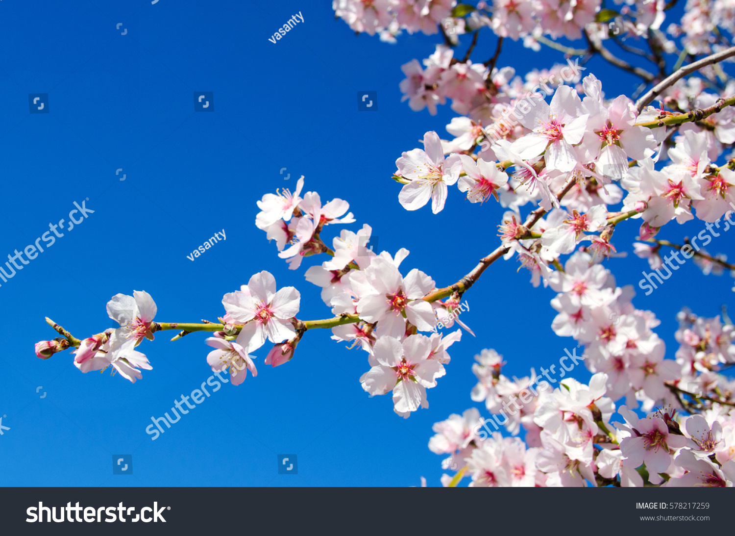 Beautiful Blooming Almond Tree Flowers Full Stock Photo Edit Now