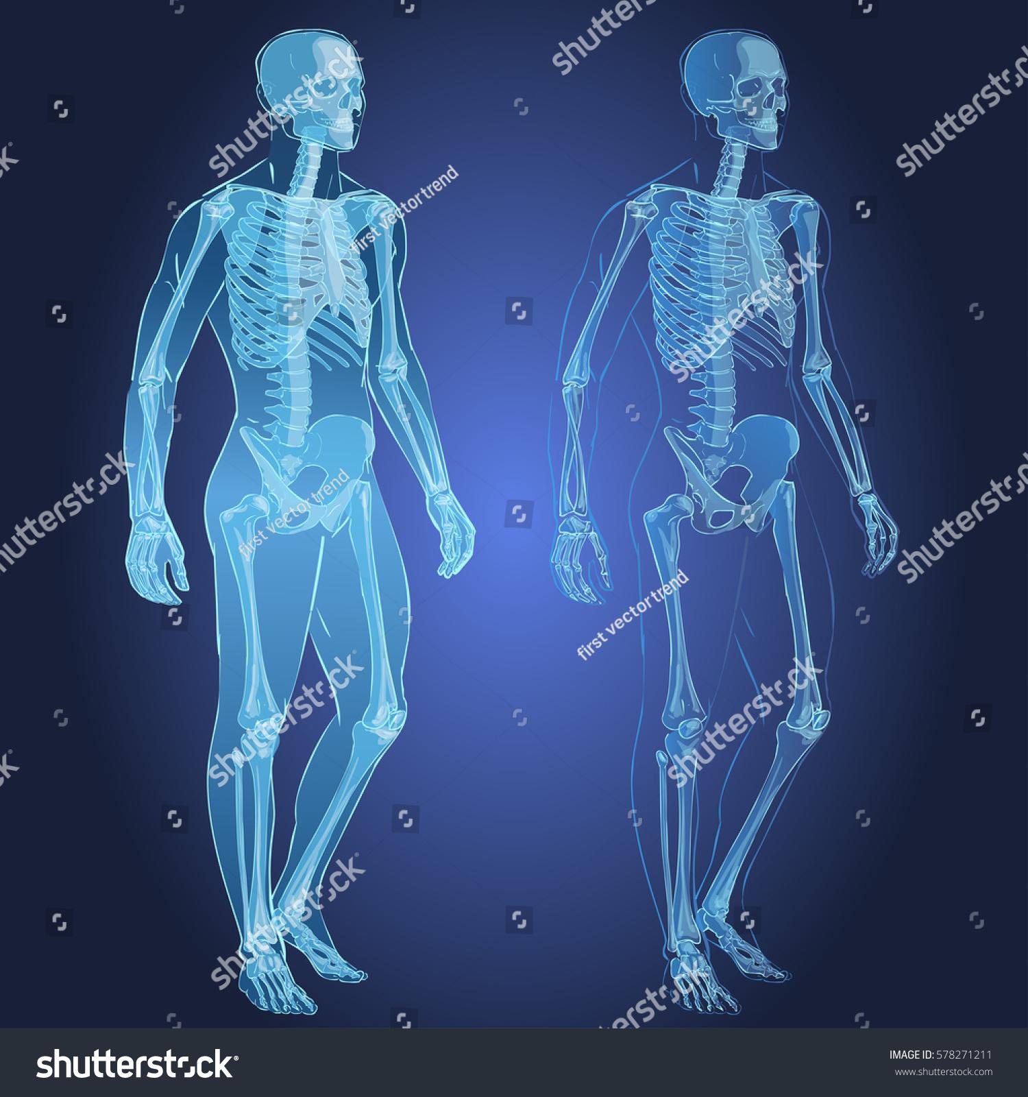 Human Body Parts Skeletal Man Anatomy Stock Illustration 578271211