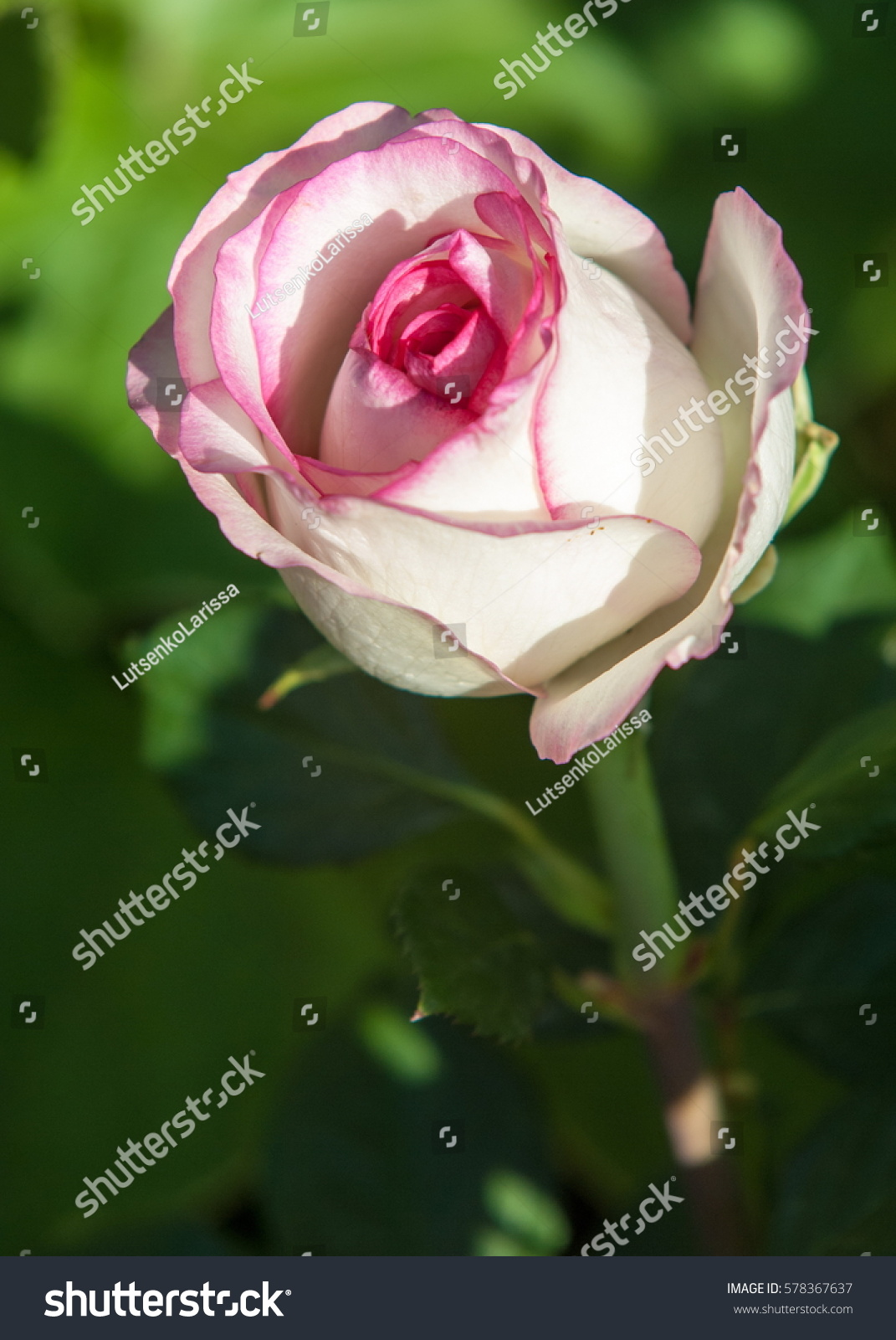 Texture Pattern Background Roses Plant Beautiful Parks Outdoor Stock Image 578367637