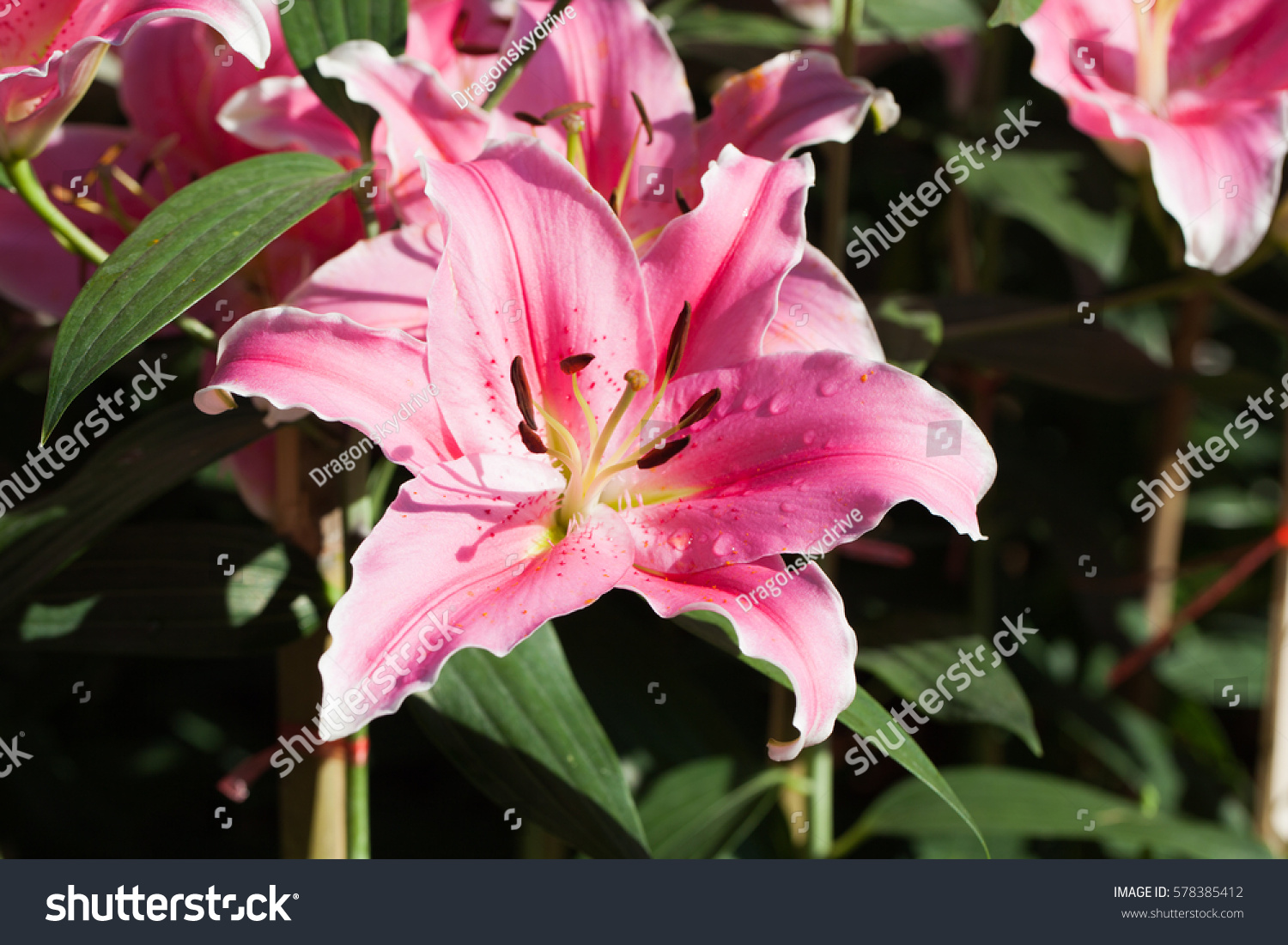 Zephyranthes Flower Common Names Species This Stock Photo Edit Now