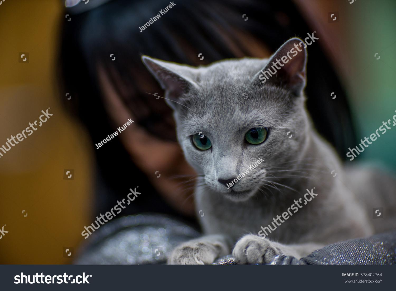 Russian Blue Cat Stock Shutterstock