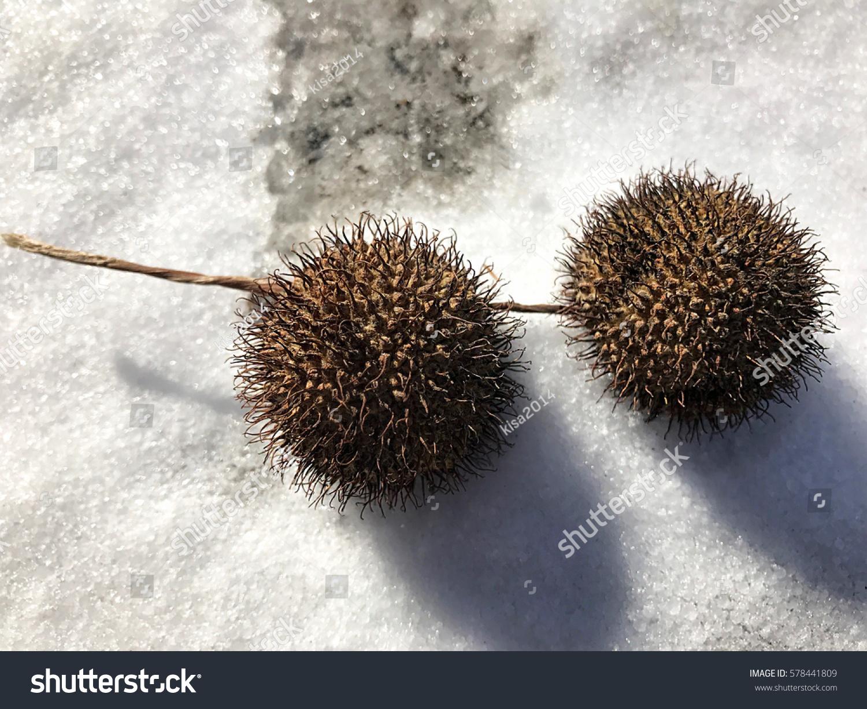 Balls Tree Seeds Lie Snow Stock Photo (Edit Now) 578441809