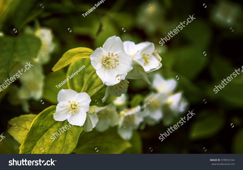 Beautiful Jasmine Flower Close Up Ez Canvas