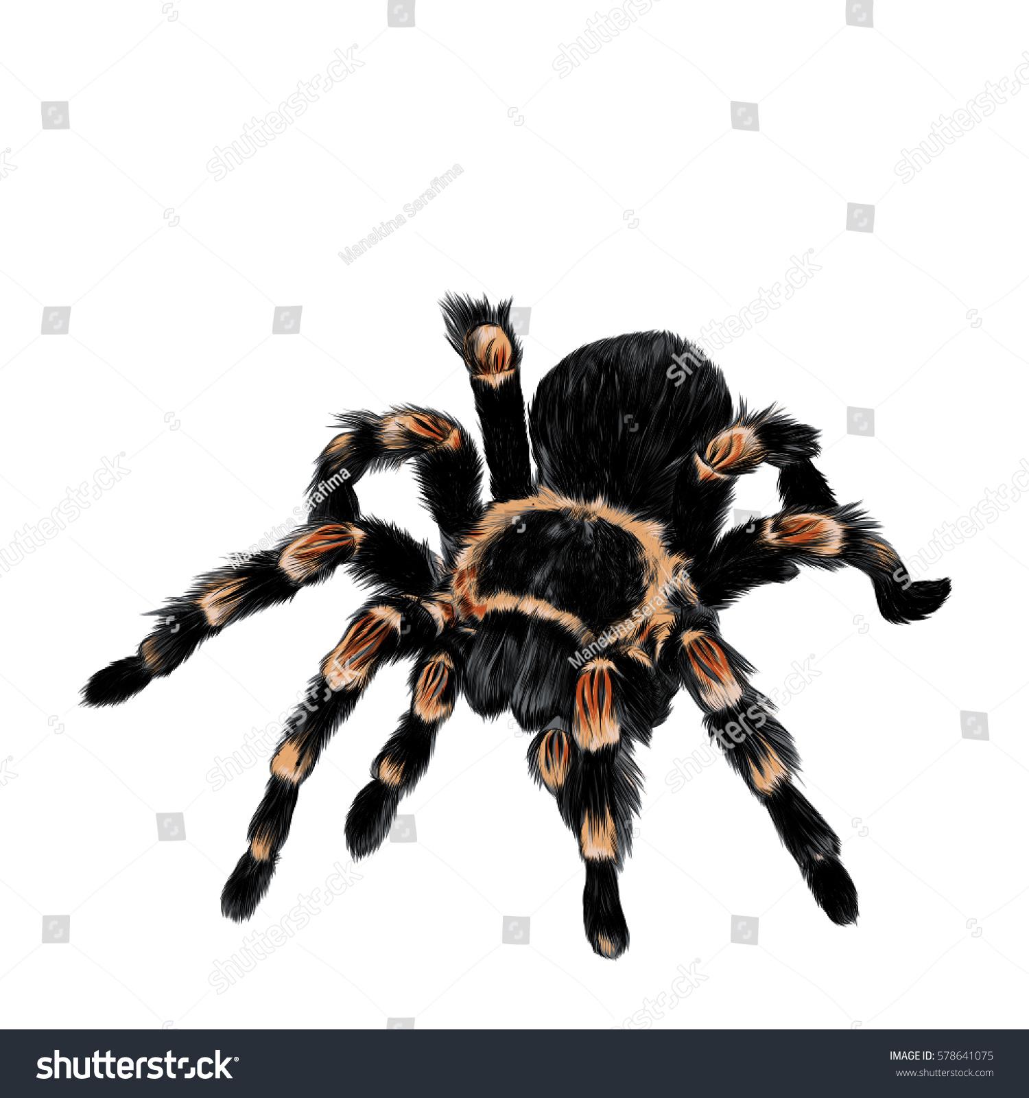 Spider Tarantula Vector Color Drawing Vectores En Stock 578641075 ...