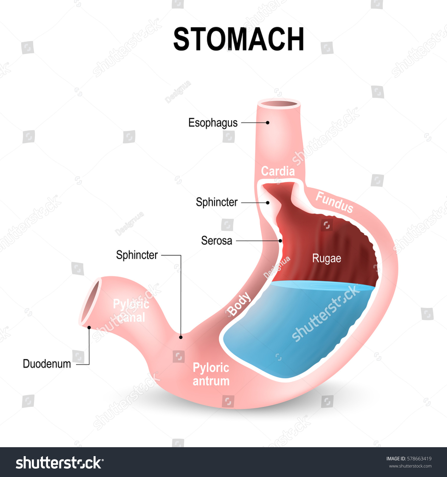 Sections Stomach Parts Regions Duodenum Esophagus Stock Vektorgrafik